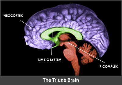 Image showing the human brain illustrating the triune brain