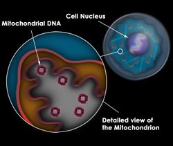 Diagram of mitochondria