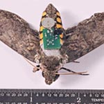 Image of a moth with a SIM computer chip attached to it's back